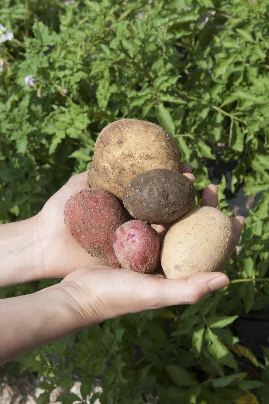 다양한 감자를 키우고 씨앗을 이어가는 '핑크세레스' 농가방문